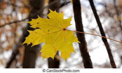 single yellow autumn maple leaf