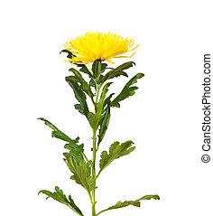 Single  yellow chrysanthemum. Isolated  on white