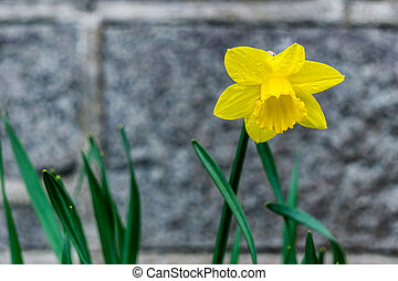 Single yellow daffodil narcissus flower blure background