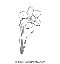 Single daffodil, narcissus spring flower with stem and leaves, sketch vector illustration isolated on white background. Realistic hand drawing of daffodil spring flower in vertical position