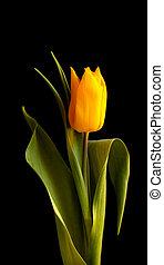 Single yellow tulip against black background