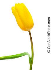 single yellow tulip