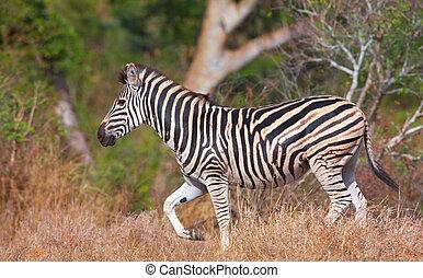Single zebra (African Equid)