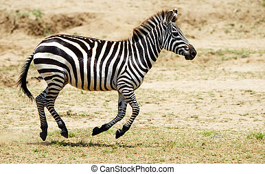 Single zebra (African Equid) running in the nature reserve...