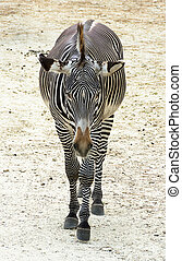 Single zebra Equus quagga in the wild. Front view