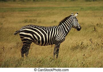 Single zebra