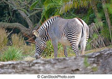 Single zebra in the wild