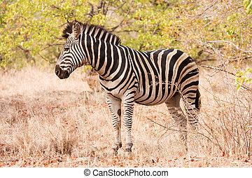 Single zebra standing in the bush