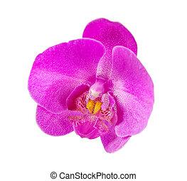 singolo fiore, orchidea