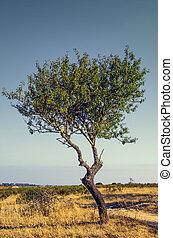 singolo, olivo