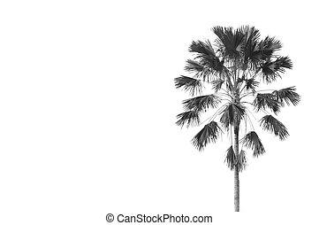 singolo, palma, bianco, fondo, in, moochrome