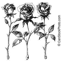 singolo, rose, disegno, set