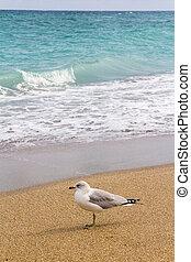 singolo, spiaggia, uccello, gabbiano