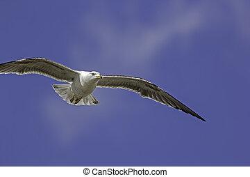 Sinister Seagull. Gull in flight against blue sky background