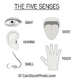 sinne, fünf, tabelle, organe, sensorisch