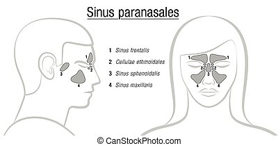 Sinuses Latin Names Male Female Face - Sinuses with latin...