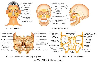 Sinuses of Nose. Anatomy of the Nose. Nasal cavity bones....