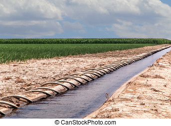 Siphon Tube Irrigated Cornfield - Field of corn irrigated by...