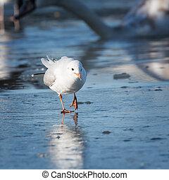 sirály, cautiously, őt jár, képben látható, a, jég