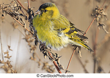 Siskin close up sitting on a branch