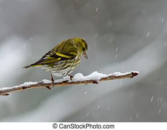 Siskin in the snow