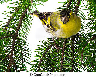 siskin isolated on a white background, studio shot