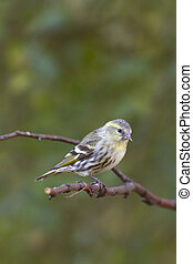 siskin perched on a branch in the UK