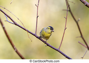 siskin perched on a branch in the wild