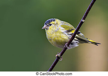 siskin perched on a branch