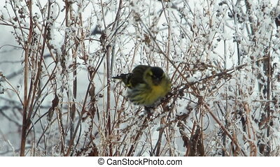 Siskin sit on the dry branches and peck and eat seeds of...
