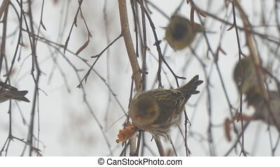 Siskins sitting on the branch of a birch