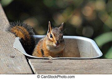 Siskiyou chipmunk (Neotamias siskiyou) on a feeder