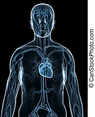 sistema, cardiovascolare