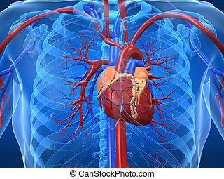 sistema, cardiovascular