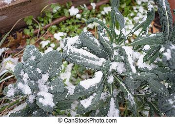 sistema, col rizada, nieve, irrigación, cama, cubierta, ...