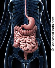 sistema digestivo, femmina