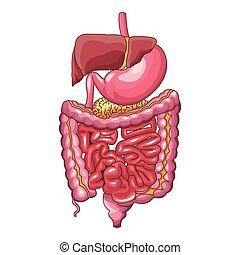 sistema digestivo, human