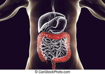 sistema digestivo humano, anatomía, con, destacado, intestino grueso