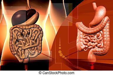 sistema digestivo, humano