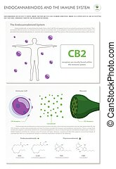 sistema, endocannabinoids, vertical, negócio, infographic, imune, completo