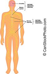 sistema, humano, nervioso