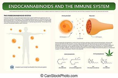 sistema, imune, texto, infographic, horizontais, endocannabinoids