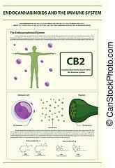 sistema, imune, vertical, infographic, endocannabinoids