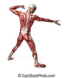 sistema, macho, muscular