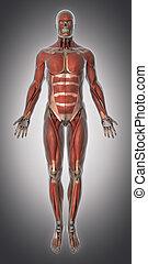 sistema muscular, anatomía, vista anterior