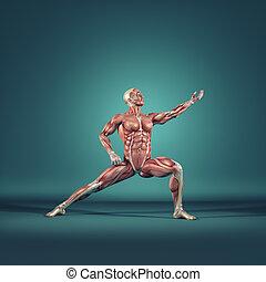 sistema, muscular