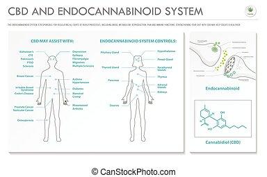 sistema, negócio, infographic, horizontais, cbd, endocannabinoid