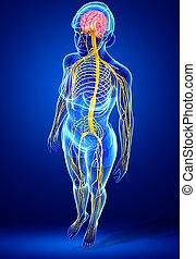 sistema nervioso, hembra, ilustraciones