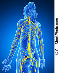 sistema nervoso, femininas