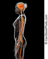 sistema nervoso, femmina